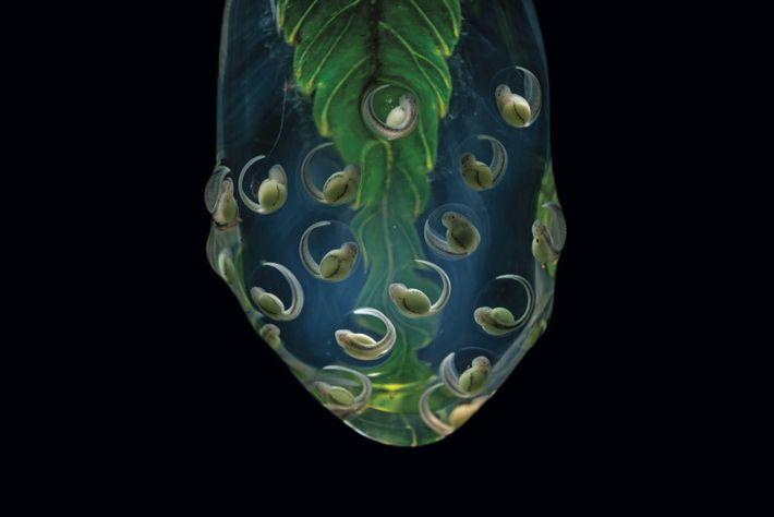 Des embryons de la grenouille Nymphargus wileyi, endémique de l'est des Andes équatoriennes, pendent au bout d'une feuille ...