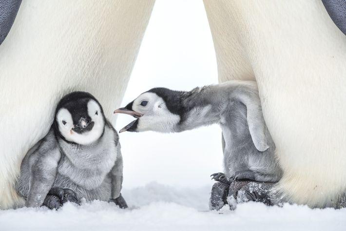 Petite querelle entre deux poussins qui se réchauffent contre les pattes de leurs parents. Lorsque la ...