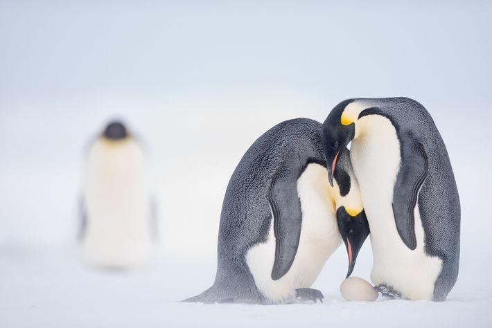 Avant de plonger dans l'eau, une femelle aide son partenaire à mettre l'œuf en équilibre sur ...