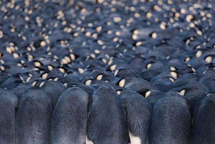 Chacun des manchots mâles de la colonie de la baie d'Atka installe un œuf en équilibre ...