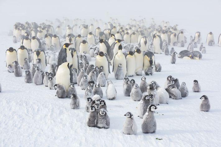 Une tempête printanière se déclenche alors que les jeunes manchots commencent à explorer la glace, profitant ...