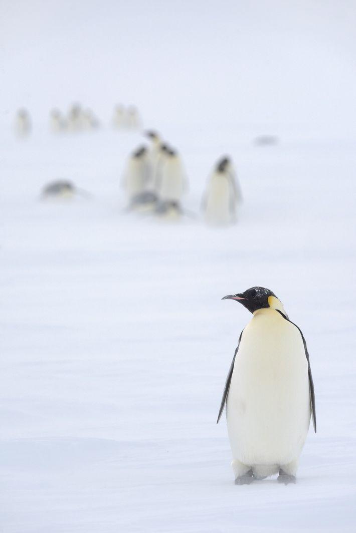 Ces manchots empereurs adultes qui se nourrissent en mer doivent retourner vers la glace pour nourrir ...