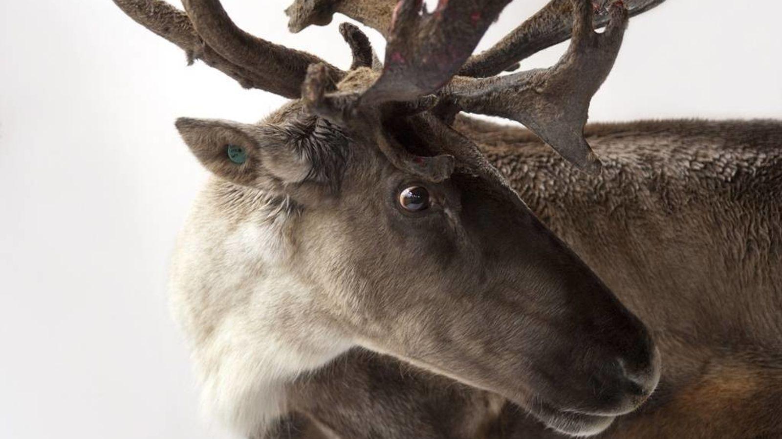 Un caribou du Canada (Rangifer tarandus) photographié par le photographe Joel Sartore dans le cadre du projet ...