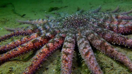 Voici l'étoile de mer tournesol, véritable cauchemar pour les poulpes