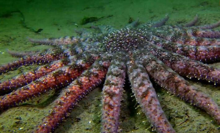Cette étoile de mer géante a 18 bras