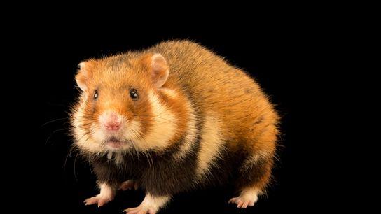 Le hamster d'Europe, ou hamster commun, était jusqu'à il y a peu le plus présent en ...