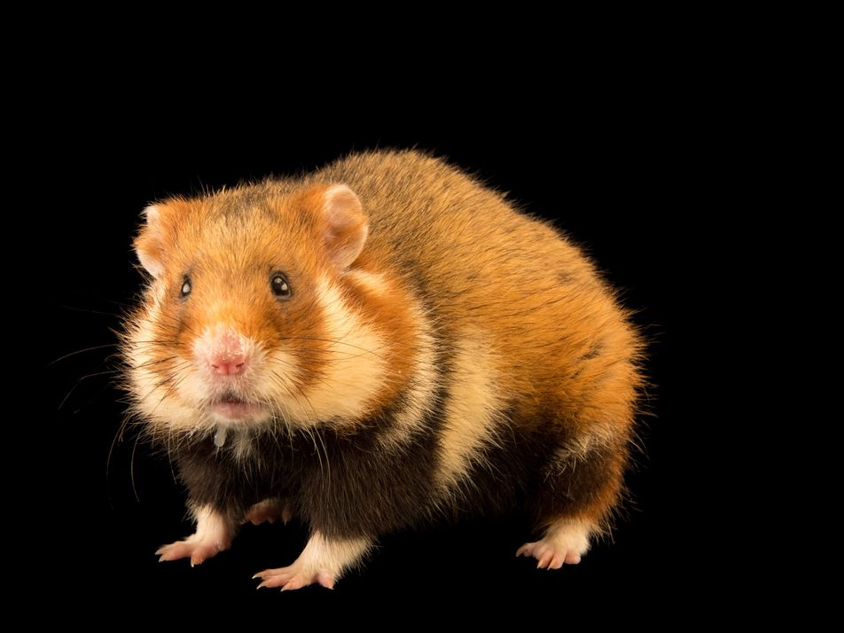 Le hamster d'Europe est désormais en danger critique d'extinction