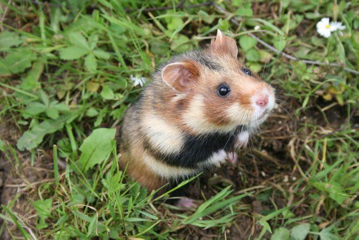 Un hamster d'Europeélevé en captivité reste dans un enclos protégé avant d'être réintroduit dans la nature, ...