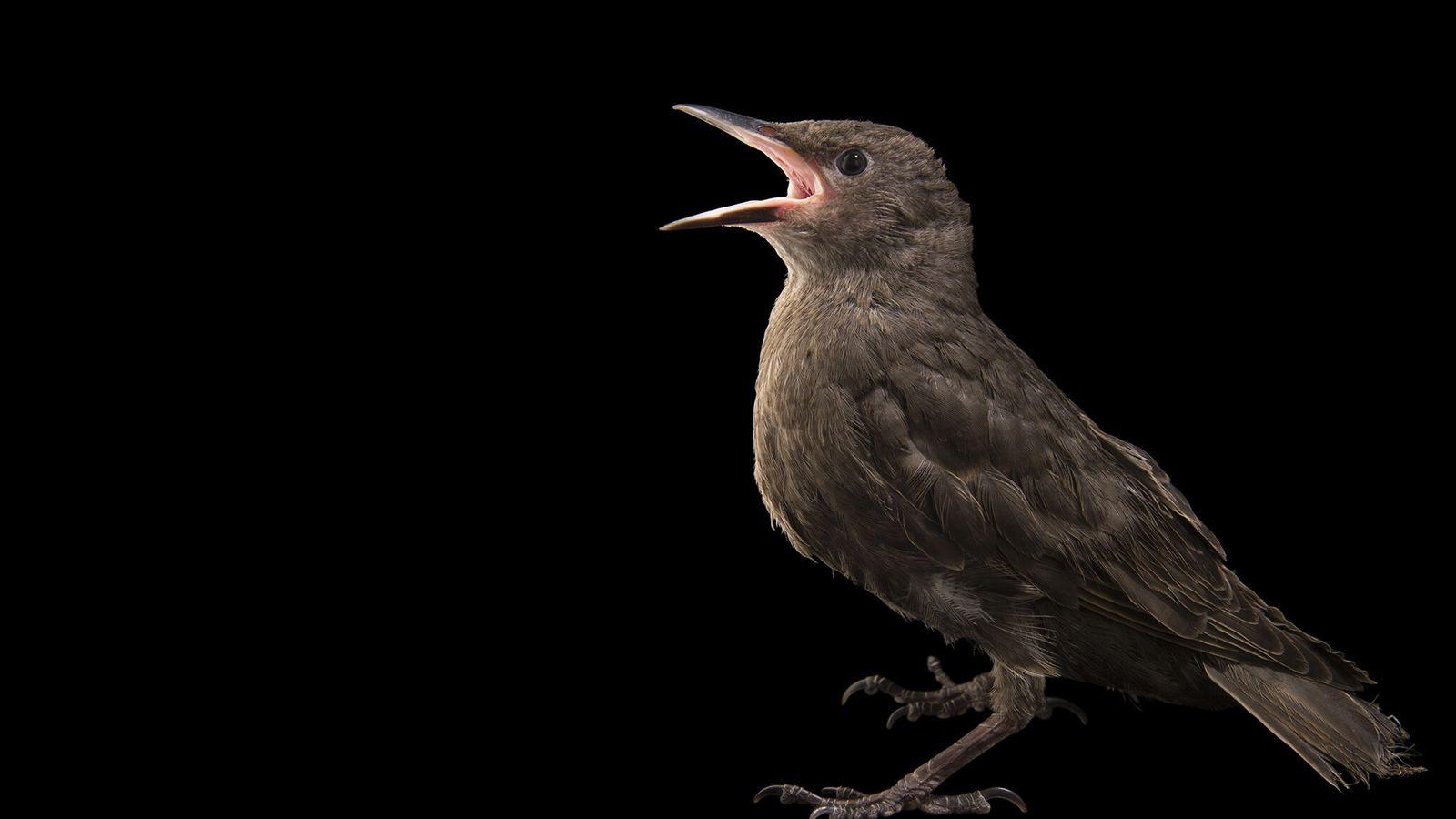 Un étourneau sansonnet, espèce de passereaux de la famille des sturnidés, originaire de la plus grande ...
