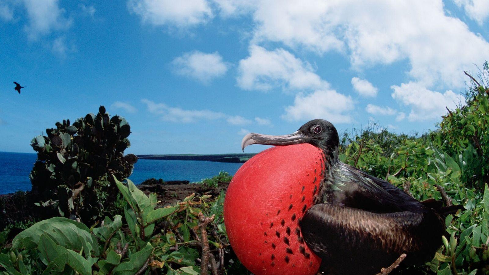 En gonflant sa poche de couleur rouge, le mâle frégate superbe indique qu'il est à la ...