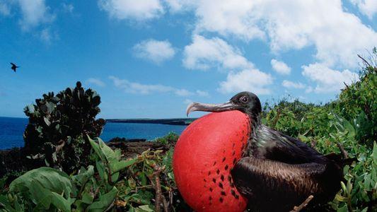 Pour séduire ses partenaires, cet oiseau joue des percussions