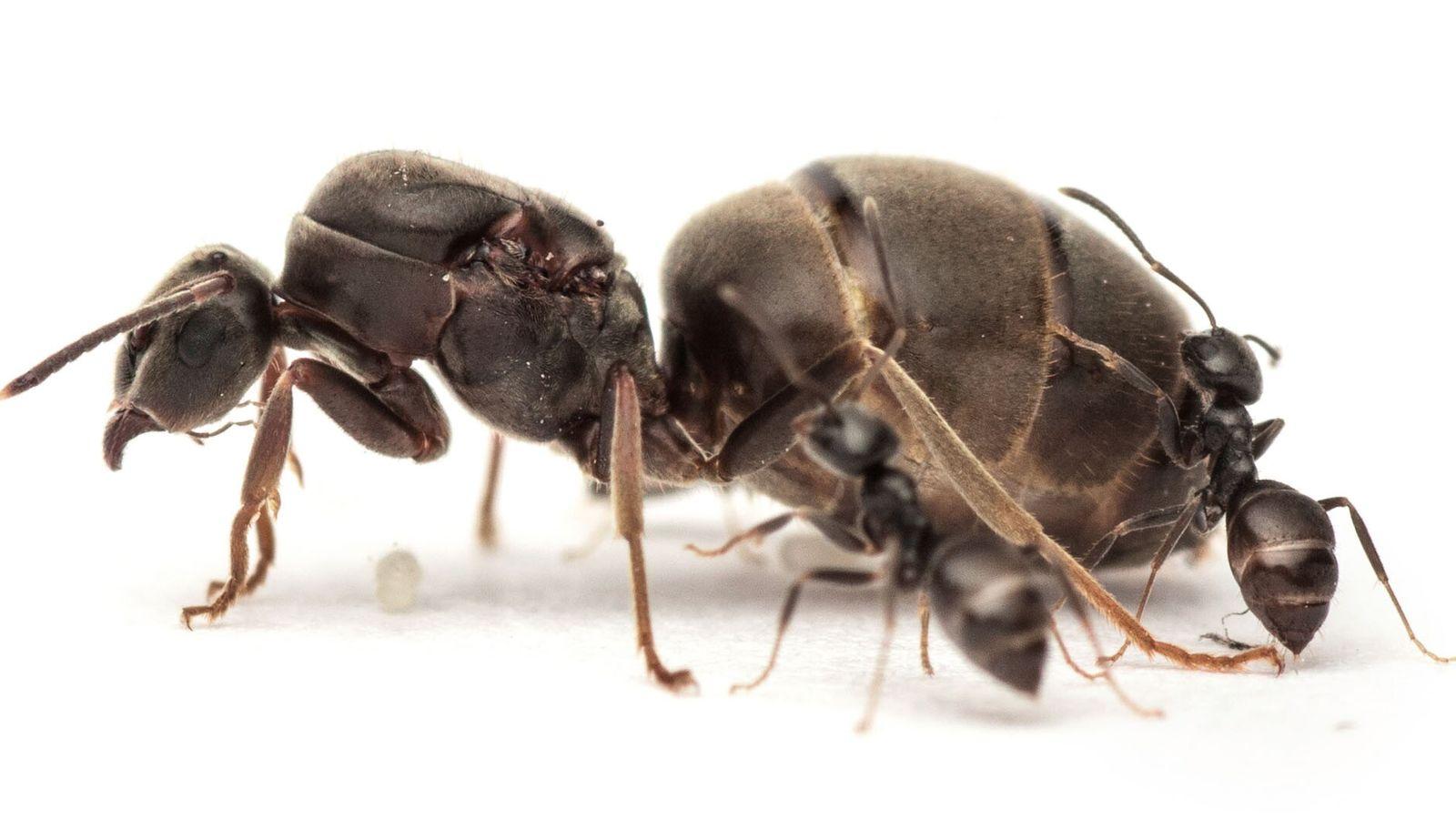 Une reine Lasius niger éclipse deux fourmis ouvrières.