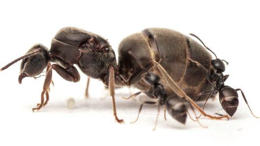 Les reines des fourmis boostent leur système immunitaire en s'accouplant