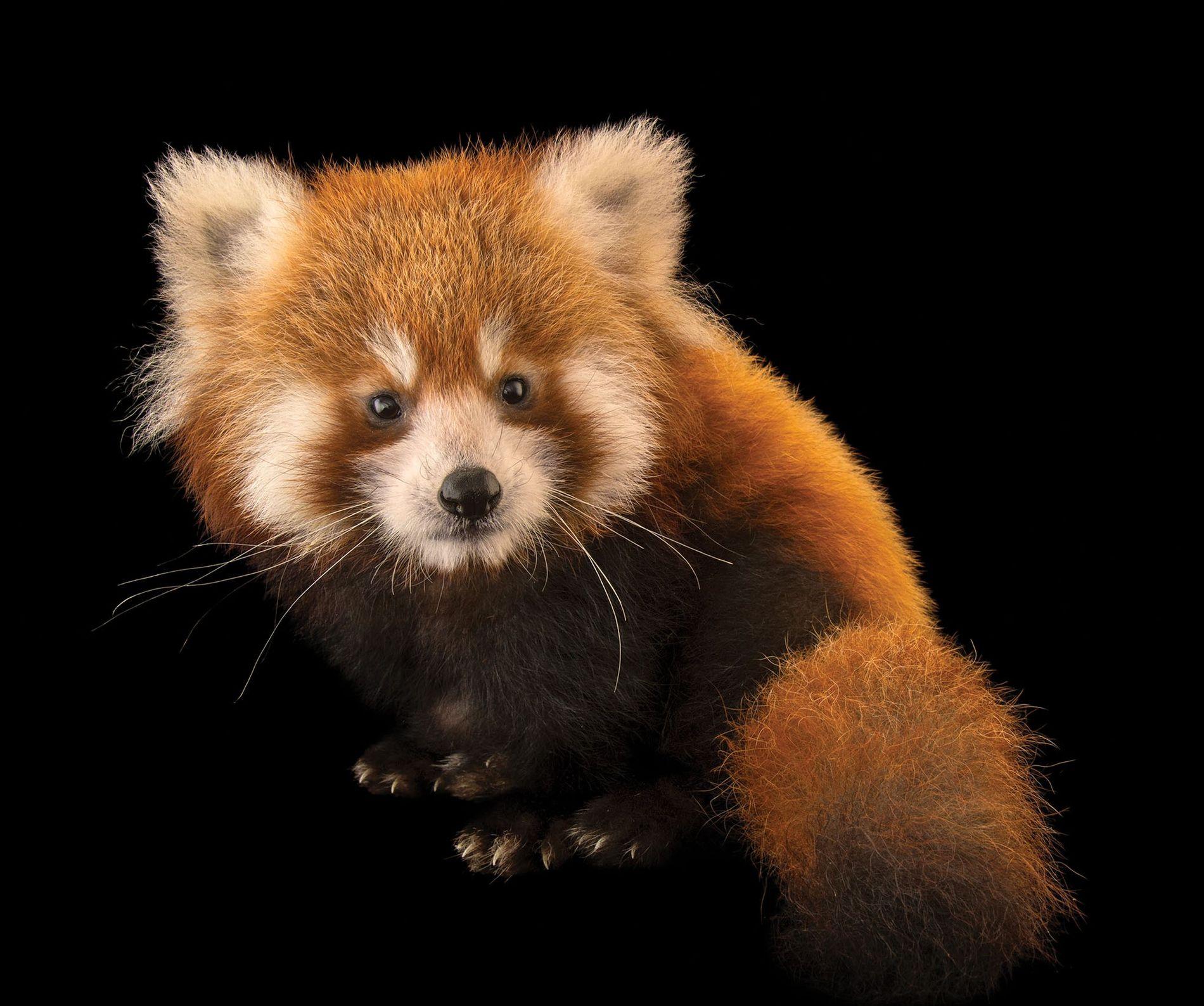 Ce panda roux a été photographié au zoo de Virginie, aux États-Unis.