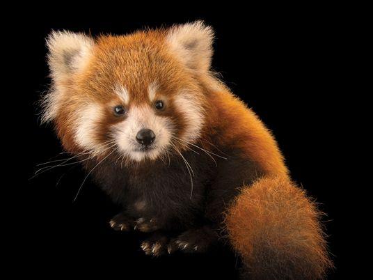 Pour se reproduire, les pandas roux doivent attendre le bon moment