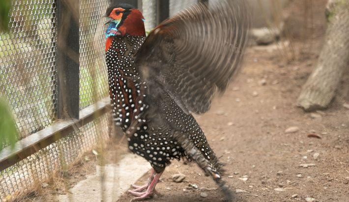 Un mâle adulte tragopan de Hastings en pleine parade territoriale lors de la saison des amours ...