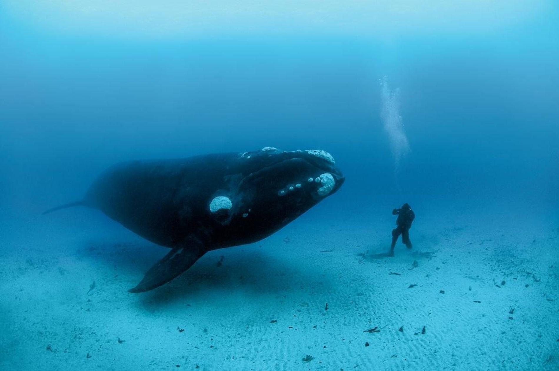 Dans les îles Auckland néo-zélandaises, Brian Skerry a immortalisé la rencontre intime entre  son assistant ...