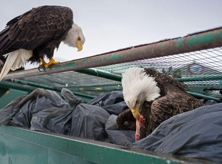 Des pygargues à tête blanche se servent dans les poubelles d'une épicerie. Lorsque la plupart des ...