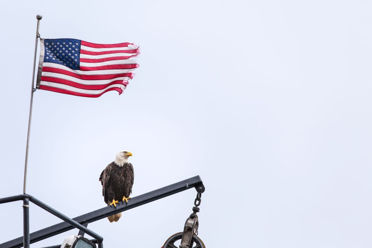 Un pygargue à tête blanche compose involontairement un tableau patriotique. Le drapeau effiloché des États-Unis survole ...