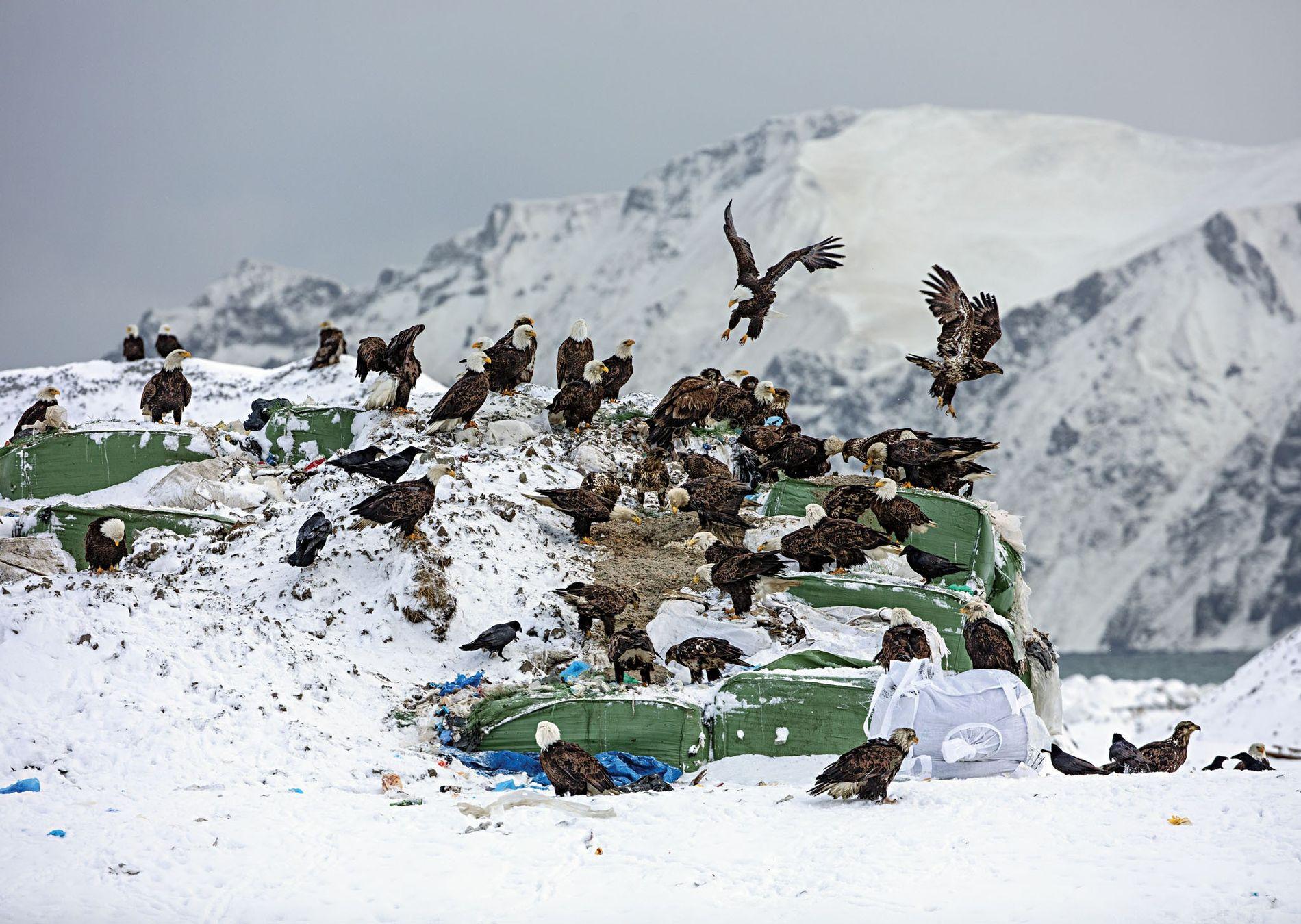 Les pygargues à tête blanche se rabattent bien souvent sur les petits gibiers ou les restes des poubelles d'Unalaska, dans les îles Aléoutiennes, aux États-Unis.