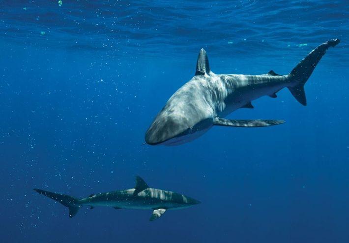 Des requins soyeux (photographiés ici aux Bahamas) faisaient partie des espèces qui étaient tuées dans les ...