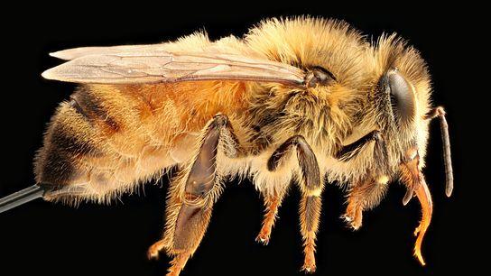 L'abeille à miel de l'espèce Apis mellifera (ci-dessus) est originaire d'Europe, du Moyen-Orient et d'Afrique. Désormais ...