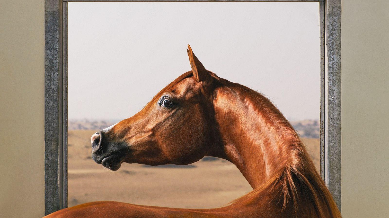 Aux Émirats arabes unis, ce pur-sang arabe jette un œil autour de son écurie. Les chevaux ...