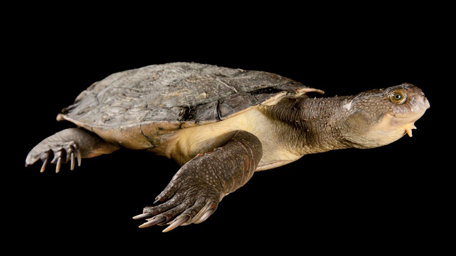 Une tortue de la Mary River, Elusor macrurus, photographiée au Lone Pina Koala Sanctuary dans le ...