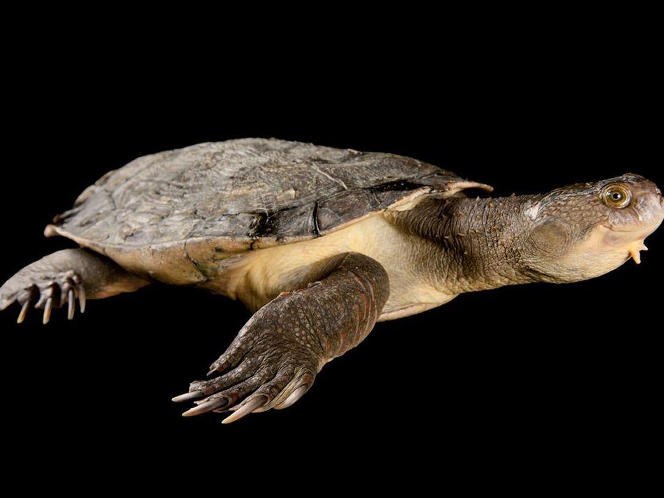 Cette espèce de tortue a une touffe d'algues en guise de cheveux