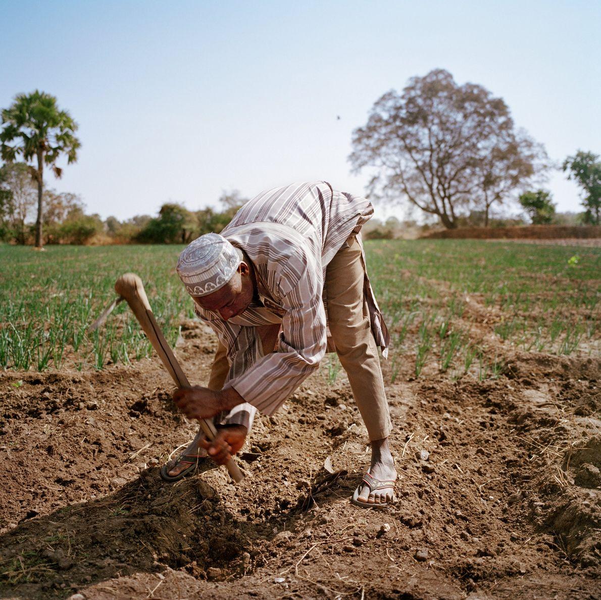 Hairu Sale laboure son champ d'oignions, qui est en pleine expansion grâce au soutien de l'entreprise ...