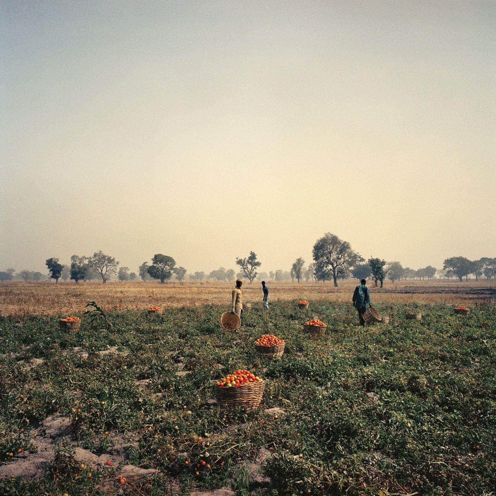 Des ouvriers agricoles nigérians récoltent des tomates cultivées avec le soutien de l'entreprise Babban Gona, qui ...