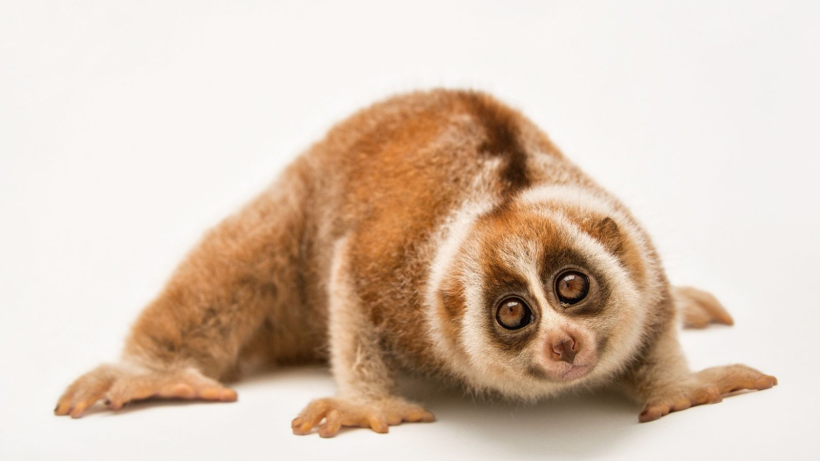 Rescuing the slow loris