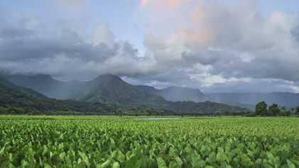 À Hawaï, la préservation du taro s'organise