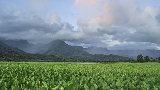 Des nuages surplombent les champs de taro situés dans le Hanalei National Wildlife Refuge, sur l'île ...