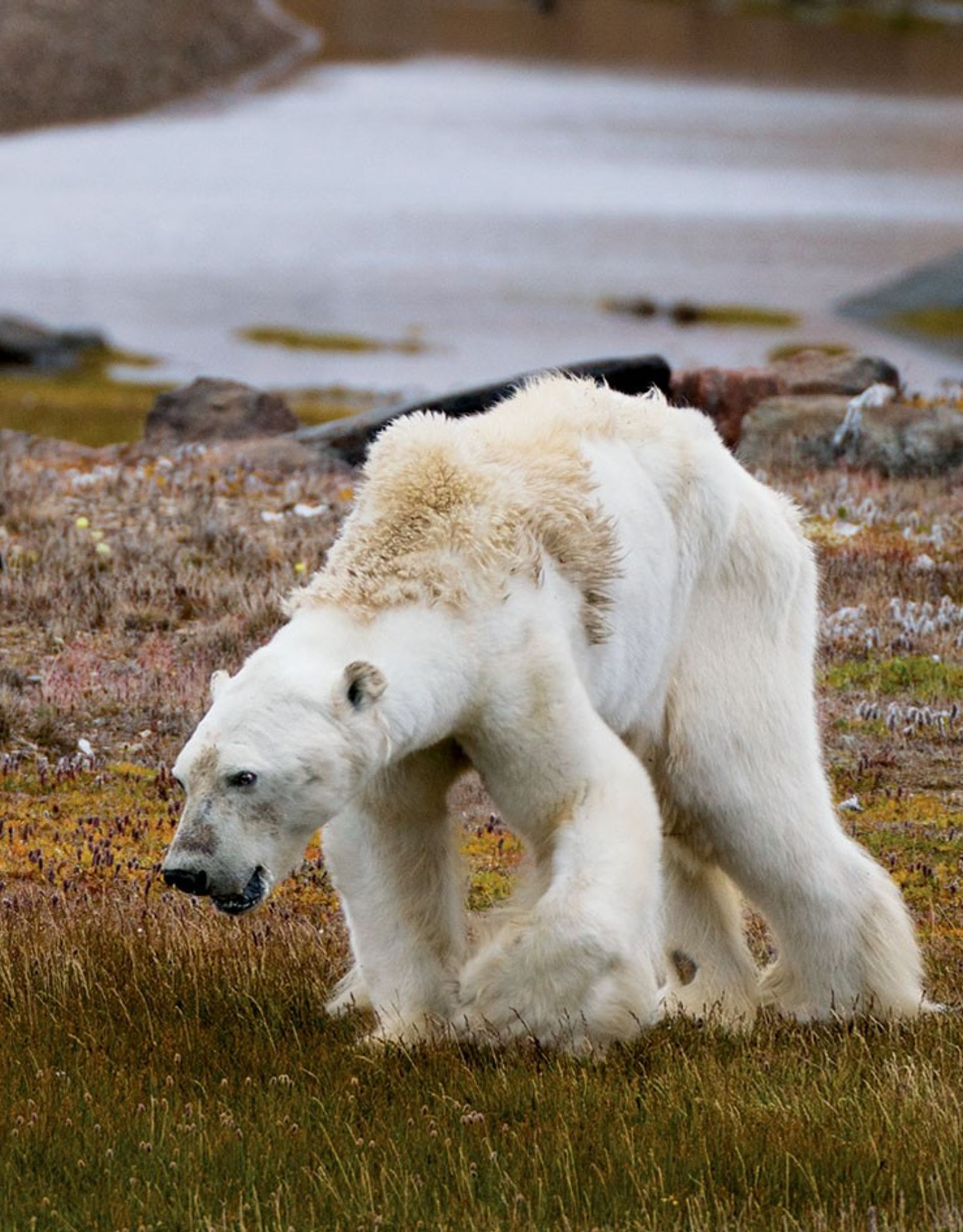 Un an après, notre photographe revient sur l'agonie de l'ours polaire, et ce qu'elle symbolisait