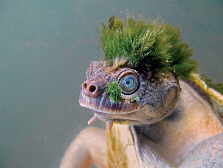 Aux yeux de ses fans, la tortue de la Mary River arbore une « crête » de « punk ». ...
