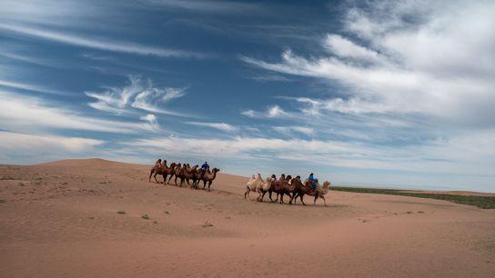Des troupeaux de chameaux arpentent les dunes de sable du désert de Gobi, qui s'étend du ...