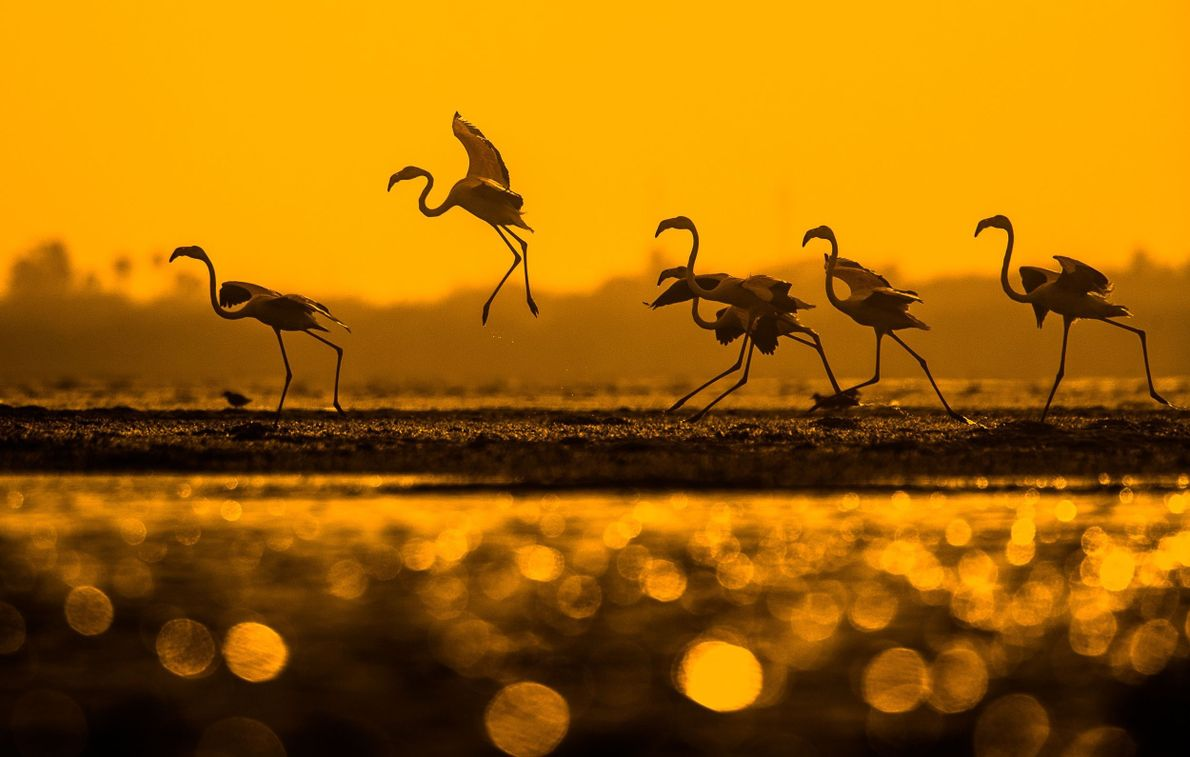 Flamingo Wings