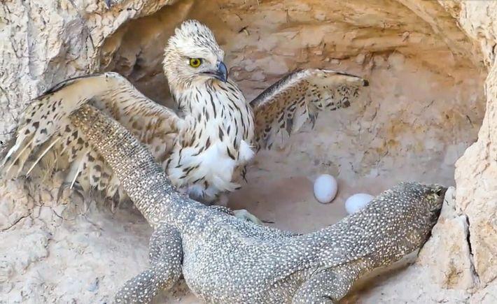 Les aigles comptent parmi les animaux mis en scène dans ces vidéos de faux sauvetages, souvent ...