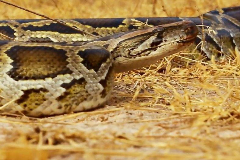 Parfois, les mêmes animaux figurent dans plusieurs vidéos. Ici, le même serpent joue le rôle de ...