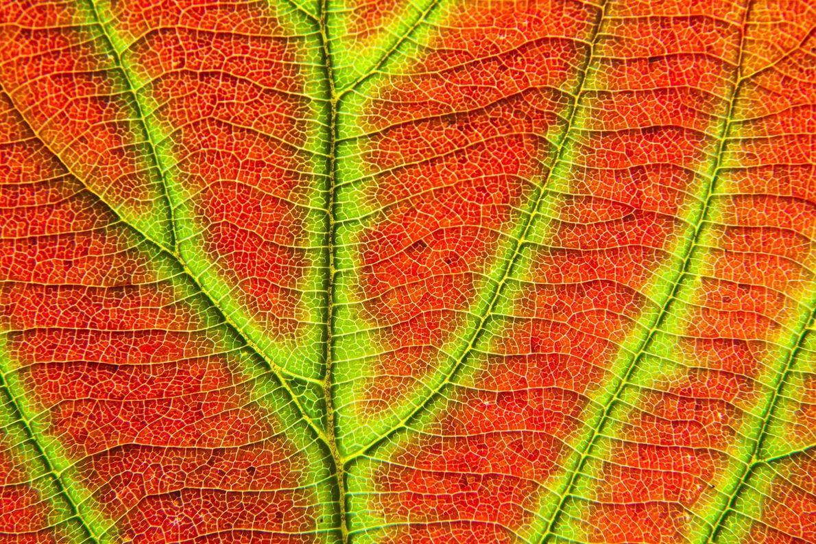 Une feuille passe du vert estival au rouge de l'automne dans le parc d'Adirondack, dans l'État ...