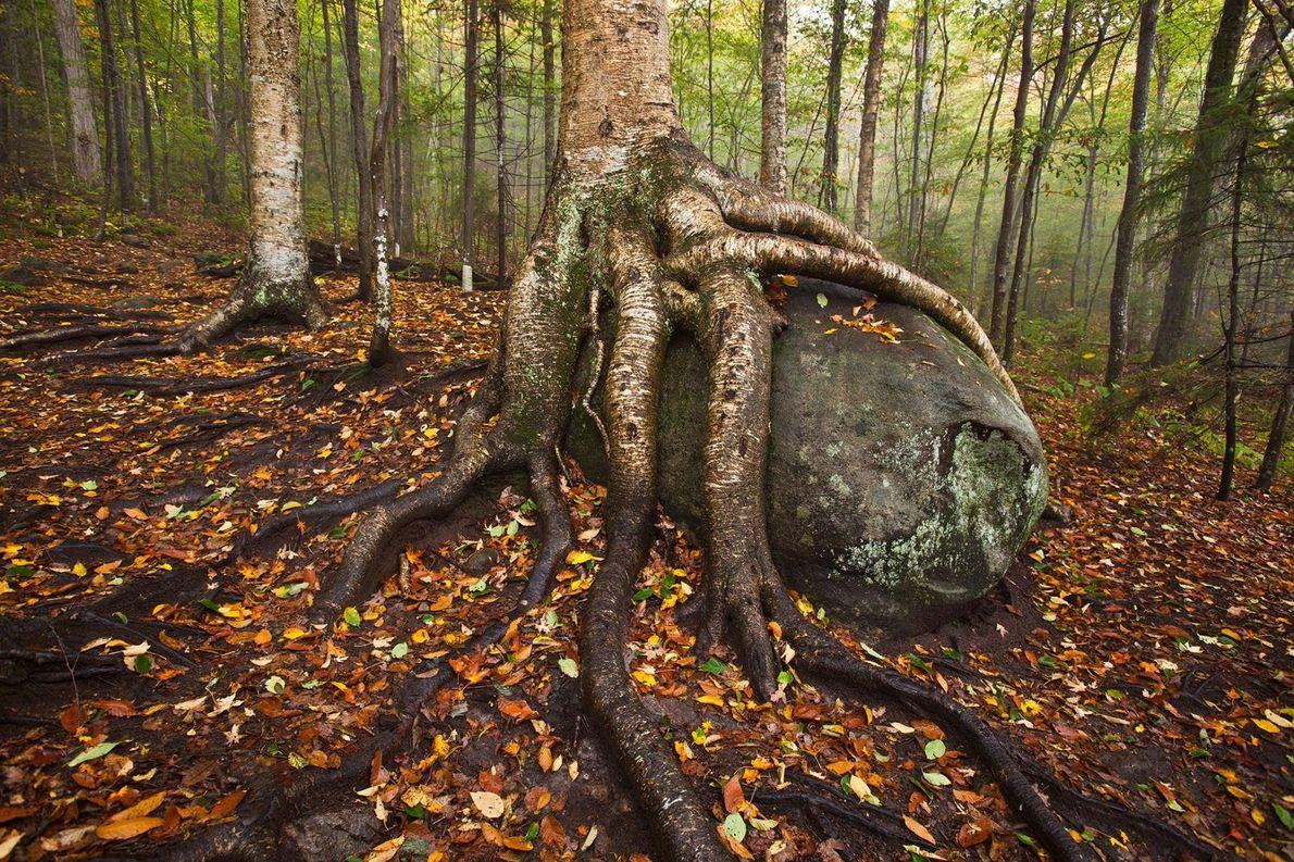Les racines d'un bouleau jaune entrelacent un rocher dans le parc d'Adirondack, dans l'État de New-York ...