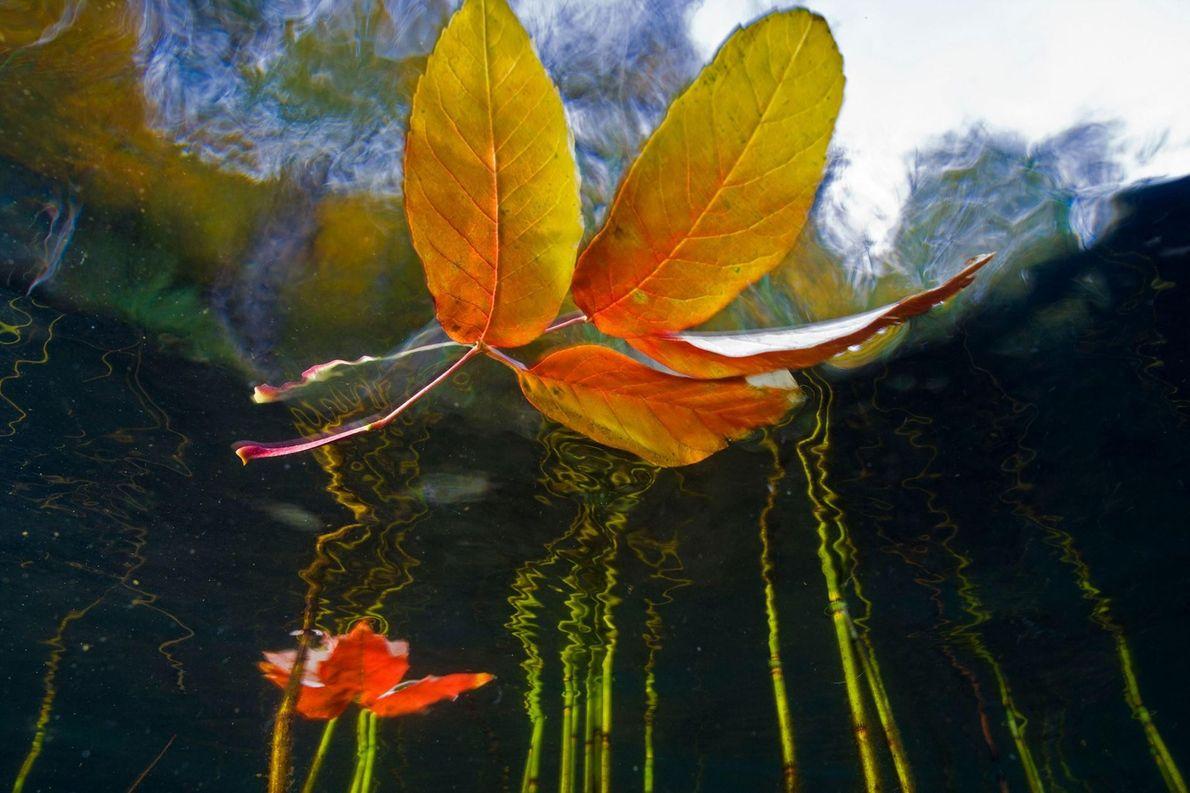 Les feuilles d'érable flottent sur le lac Cascade du parc d'Adirondack.