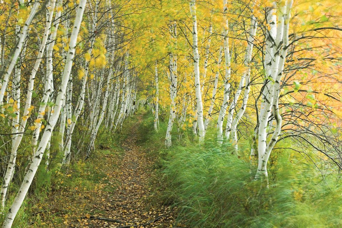 Un sentier bordé de carex au cœur d'une forêt de bouleaux du parc national d'Acadia, dans ...