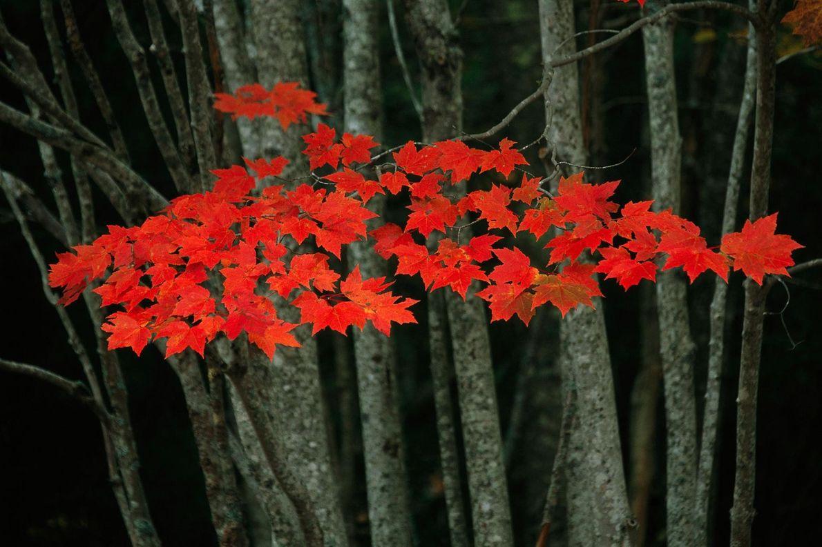 Des feuilles d'érable se parent de nuances automnales dans le parc national d'Acadia de l'État américain ...