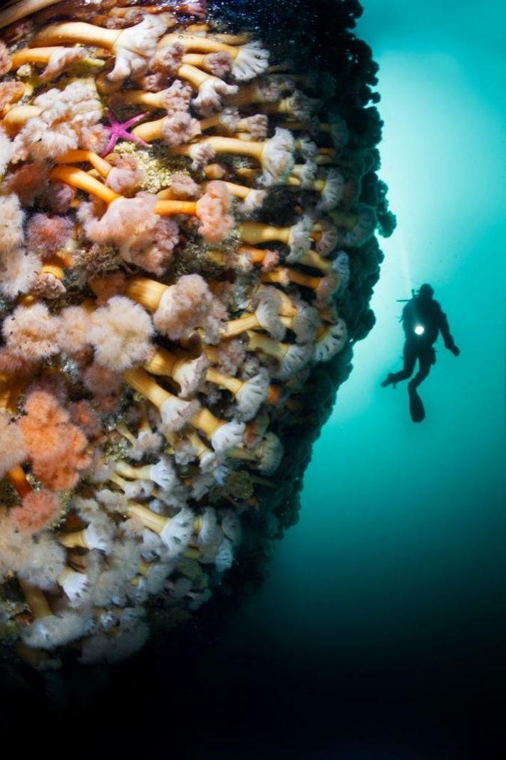David Doubilet a photographié cette falaise tapissée d'anémones de mer dans un fjord de la Bonne ...