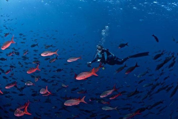 Jessica Cramp (ici, en plongée près des îles Galápagos) observe les déplacements des requins grâce à ...