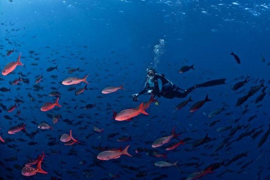 Jessica Cramp (ici, en plongée près des îles Galápagos) observe les déplacements des requins grâce à des puces posées sur eux.