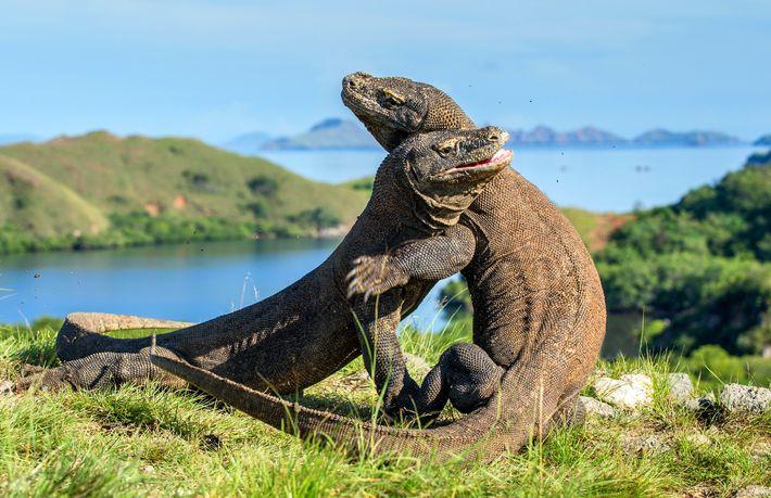 Deux dragons se livrent à un combat pour la domination au parc national de Komodo en Indonésie.