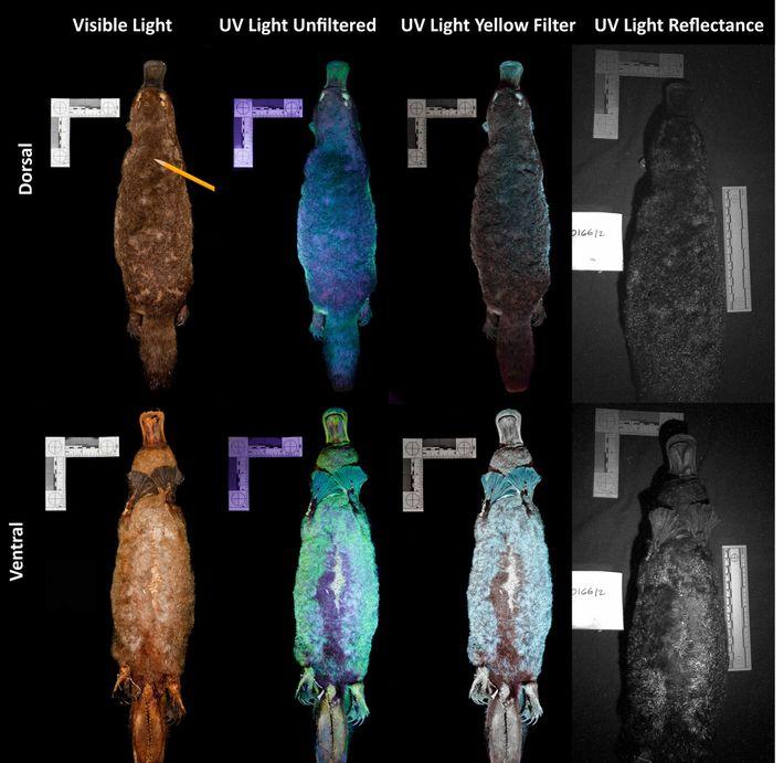 Ce cliché montre à quoi ressemblent les ornithorynques lorsqu'ils sont exposés aux ultraviolets (UV). D'après le ...